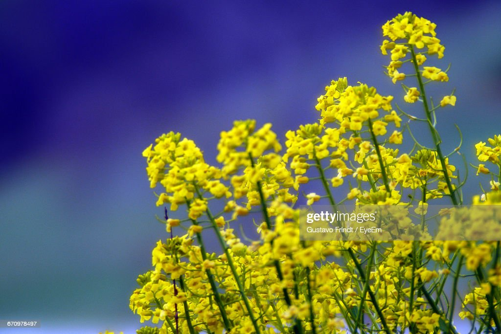 Low Angle View Of Flowers Against Blue Sky : Stock Photo