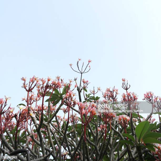 Low Angle View Of Flowers Blooming On Tree Against Clear Sky