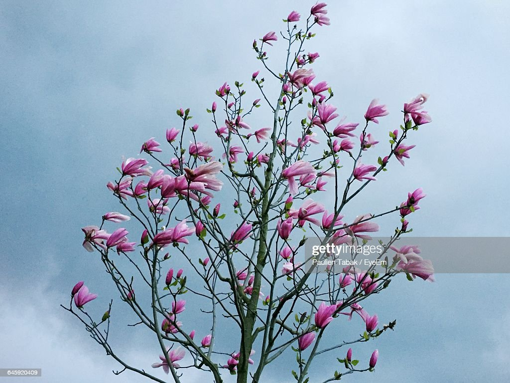 Low Angle View Of Flowers Blooming On Tree : Stockfoto