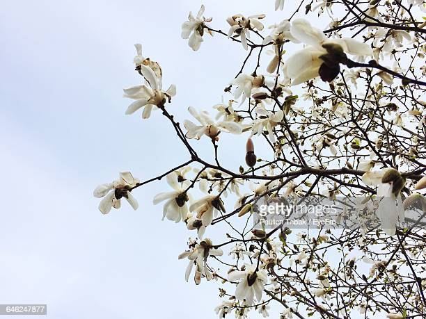 low angle view of flowers blooming on tree - paulien tabak foto e immagini stock
