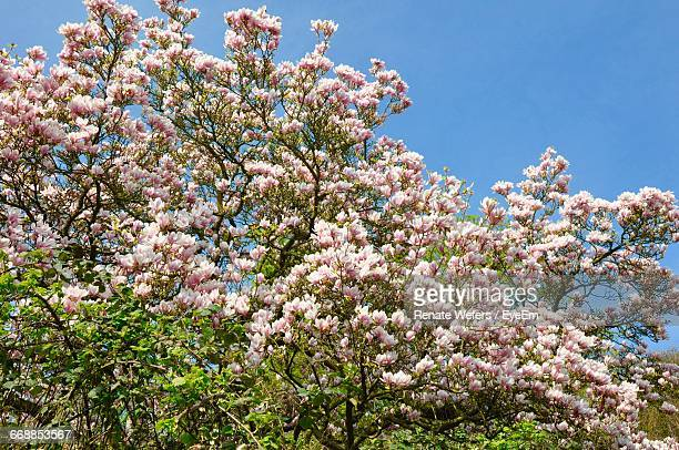 low angle view of flowers blooming on tree - magnolio fotografías e imágenes de stock