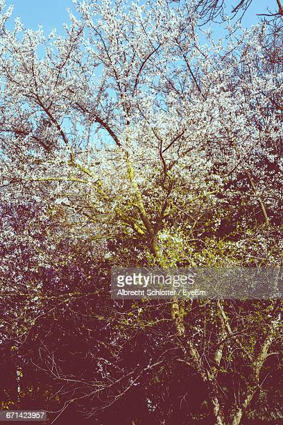 low angle view of flowers blooming on tree - albrecht schlotter stock photos and pictures