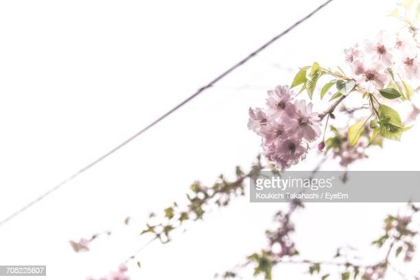 low angle view of flowers blooming on tree - koukichi koukichi stock photos and pictures