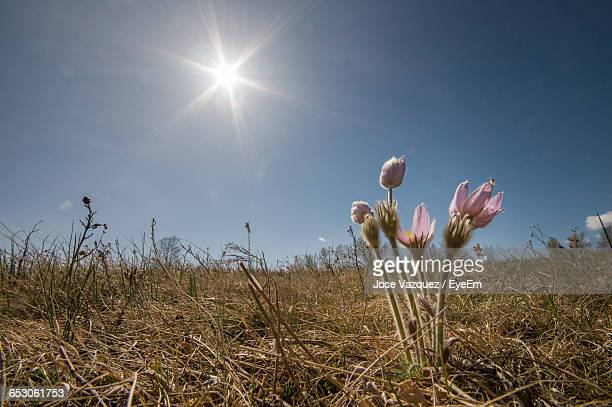 Low Angle View Of Flowers Growing On Field Against Sky