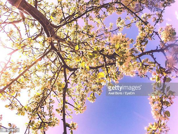 low angle view of flowers on tree - boris stock photos and pictures