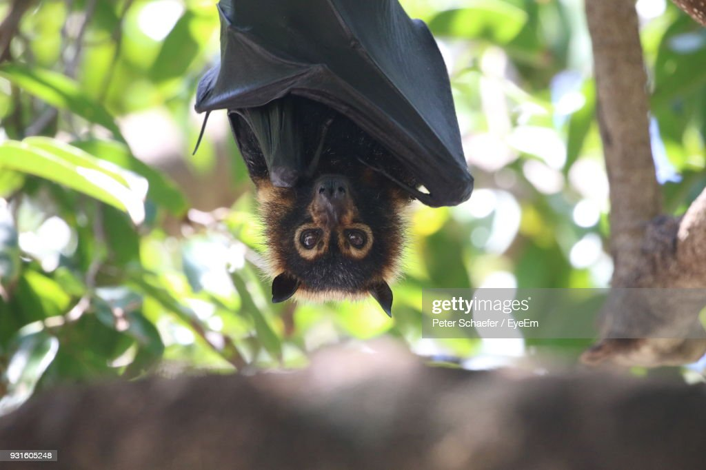 Low Angle View Of Flying Fox Hanging On Tree : Stock Photo