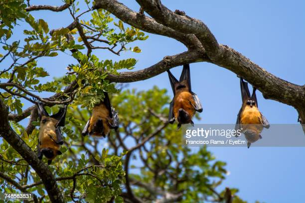 low angle view of flying foxes hanging on tree against clear sky - quattro animali foto e immagini stock