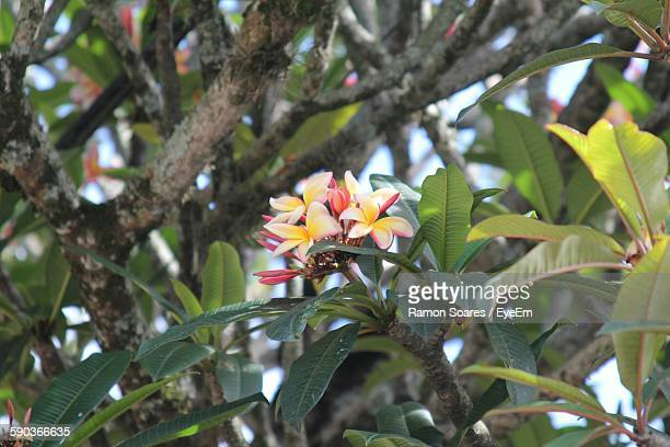 Low Angle View Of Frangipani Blooming On Tree