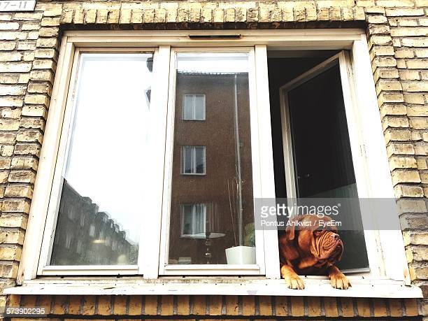 Low Angle View Of French Mastiff Looking Through Window Of House