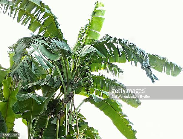 low angle view of fresh banana tree against sky - banana tree stock pictures, royalty-free photos & images