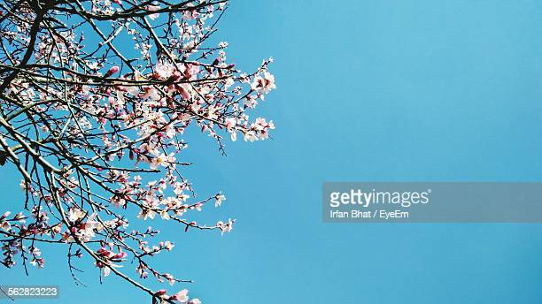 Low Angle View Of Fresh Cherry Blossom Twigs Against Clear Sky