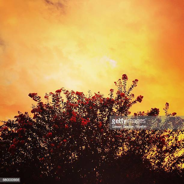 low angle view of fresh crepe myrtle tree against orange sunset sky - crepe myrtle tree stock pictures, royalty-free photos & images