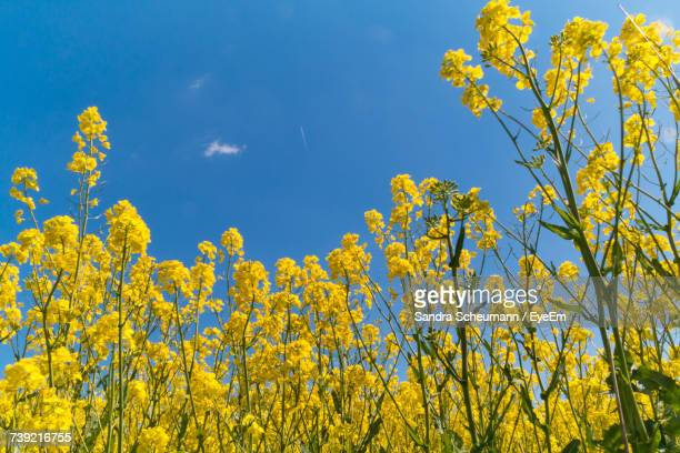 Low Angle View Of Fresh Yellow Flowers Against Sky