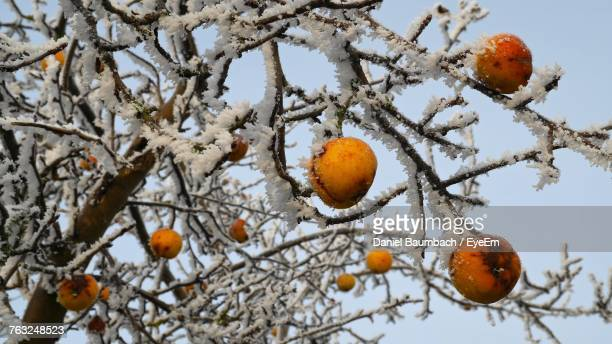 Low Angle View Of Frozen Fruit Tree Against Sky