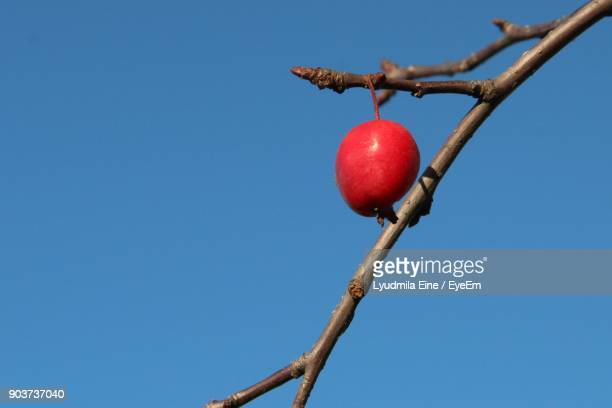 Low Angle View Of Fruit Hanging On Tree Against Clear Blue Sky
