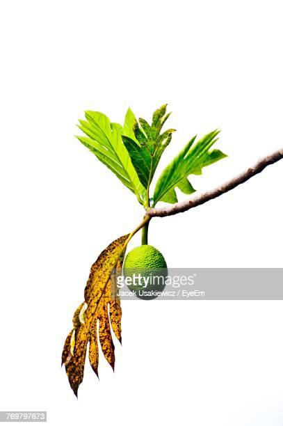 Low Angle View Of Fruit Hanging On Tree Against White Background