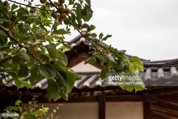 Low Angle View Of Fruits Growing On Tree Branches Against Traditional House