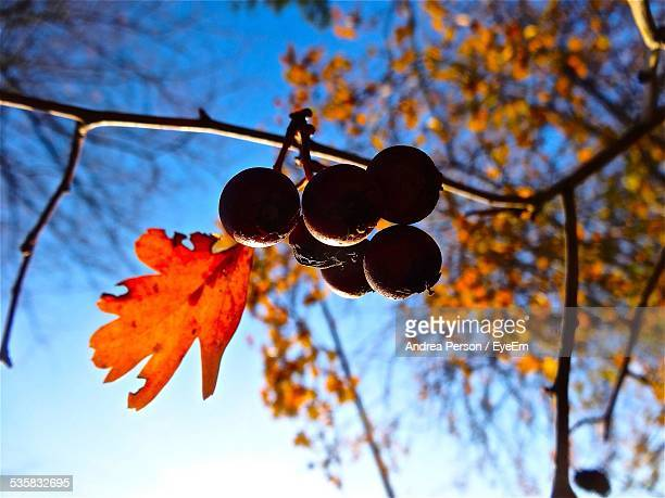 Low Angle View Of Fruits Handing On Autumn Tree