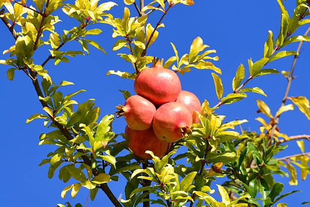 low angle view of fruits on tree against blue sky - pomegranate tree stock photos and pictures