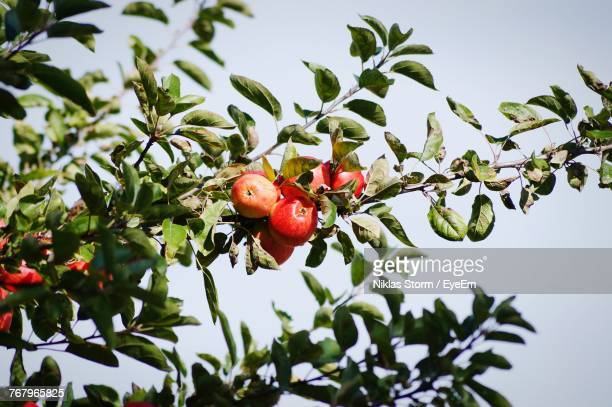 Low Angle View Of Fruits On Tree Against Clear Sky