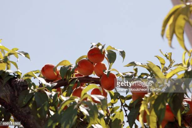 low angle view of fruits on tree - peach tree stock pictures, royalty-free photos & images