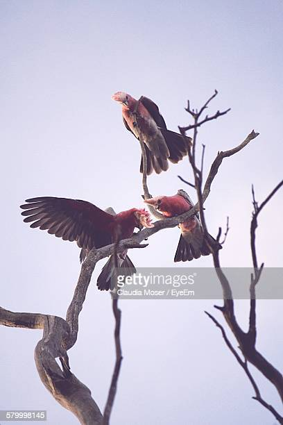 Low Angle View Of Galah Bird On Tree Against Sky