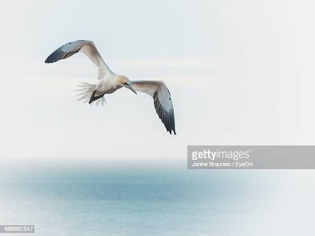 low angle view of gannet flying over sea against sky - gannet stock pictures, royalty-free photos & images