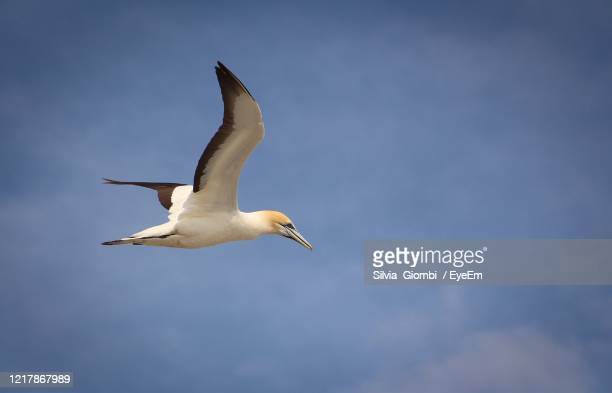 low angle view of gannetl flying in sky - gannet stock pictures, royalty-free photos & images