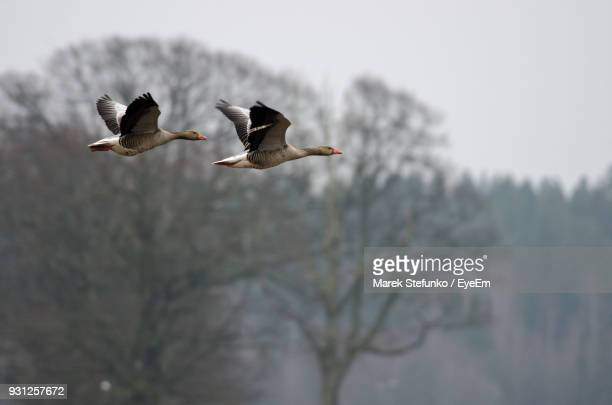 low angle view of geese flying against bare trees - marek stefunko stock-fotos und bilder