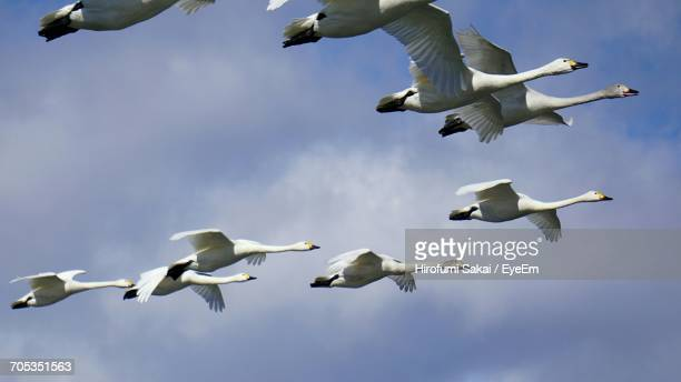 Low Angle View Of Geese Flying Against Sky