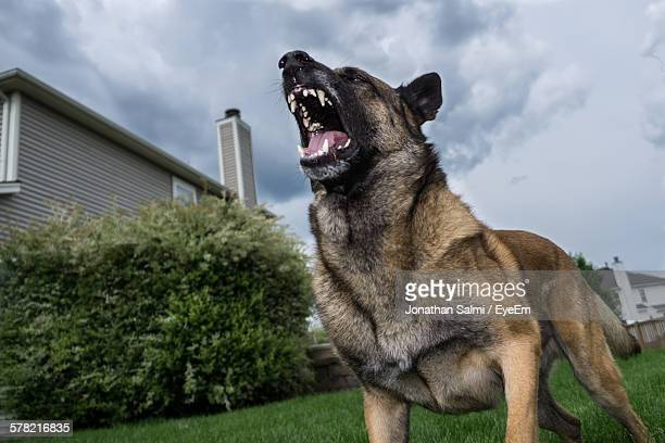 Low Angle View Of German Shepherd Barking In Yard Against Sky