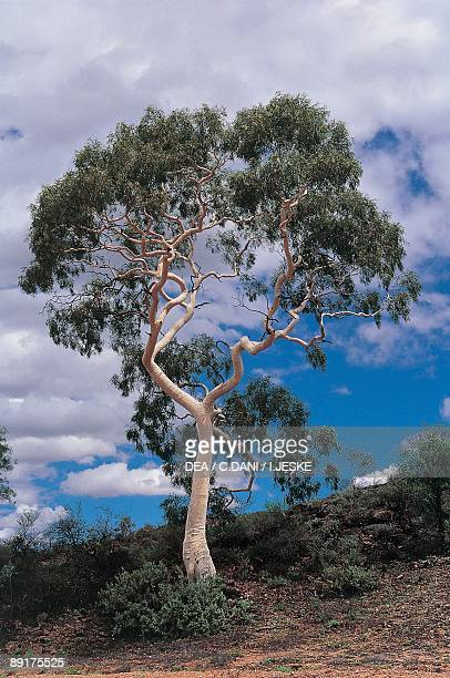 Low angle view of Ghost gum tree on a landscape