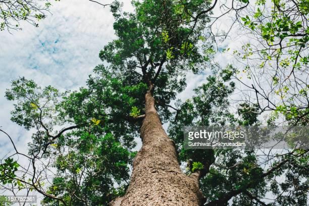 low angle view of giant tree against sky - aufnahme von unten stock-fotos und bilder