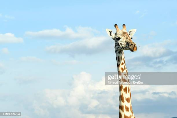 low angle view of giraffe against sky - giraffe stock pictures, royalty-free photos & images