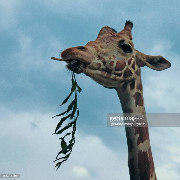 Low Angle View Of Giraffe Eating Plant Against Cloudy Sky