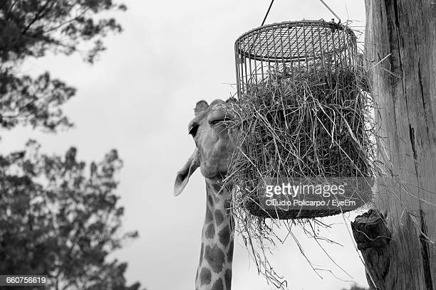 Low Angle View Of Giraffe Grazing Hay At Zoo