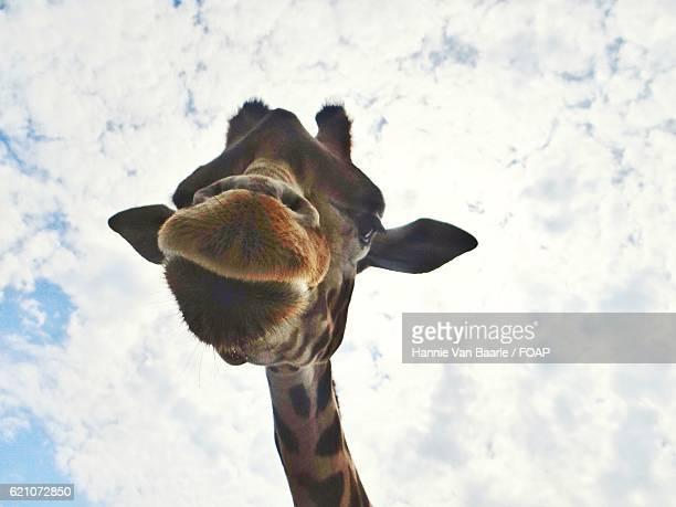 Low angle view of giraffe head