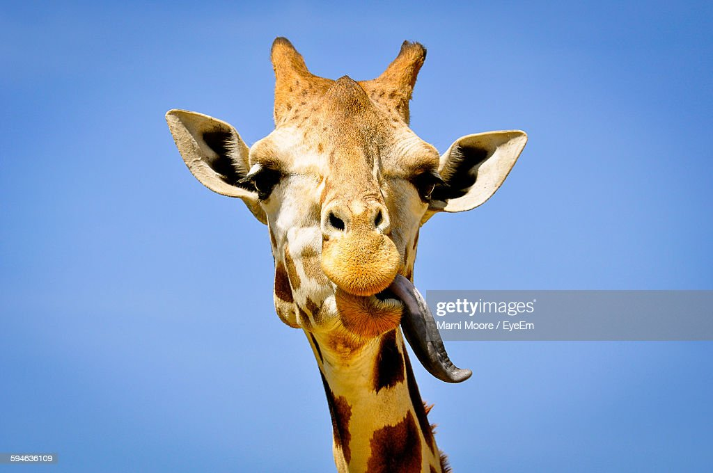 Low Angle View Of Giraffe Sticking Out Tongue Against Clear Blue Sky : Stock Photo