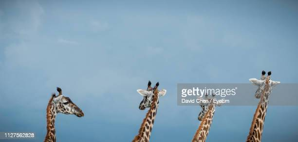 low angle view of giraffes standing against sky - ngorongoro conservation area stock pictures, royalty-free photos & images