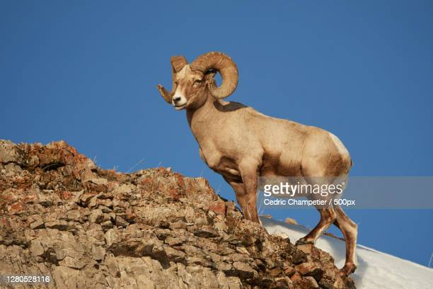 low angle view of goat standing on rock against clear blue sky,parc national de yellowstone,united states,usa - parc national de yellowstone stock pictures, royalty-free photos & images