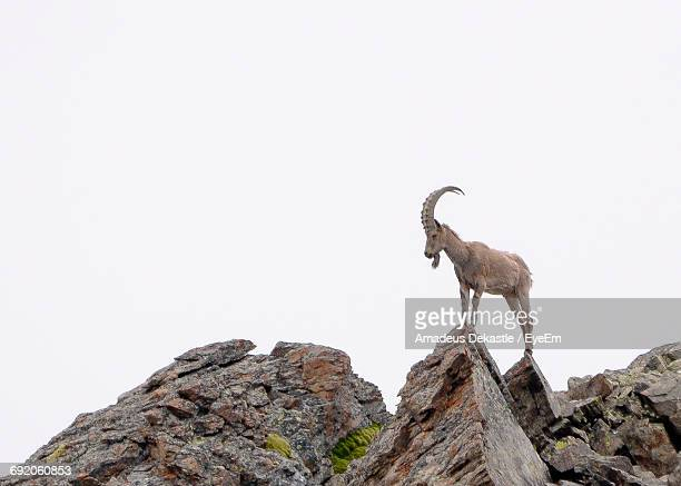 low angle view of goat standing on rock against clear sky - ibex ストックフォトと画像
