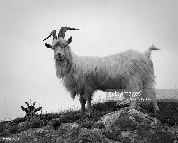 Low Angle View Of Goats On Rock Against Sky