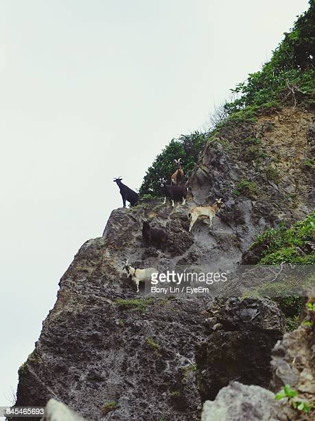 Low Angle View Of Goats Standing On Mountain Against Clear Sky