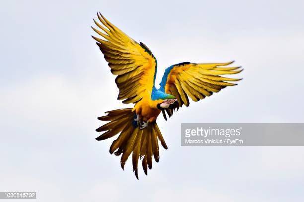 low angle view of gold and blue macaw flying against clear sky - oiseau tropical photos et images de collection