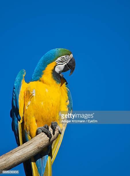 Low Angle View Of Gold And Blue Macaw On Wood Against Clear Sky