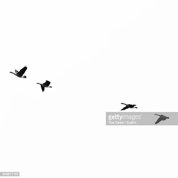 Low Angle View Of Goose Flying In Clear Sky