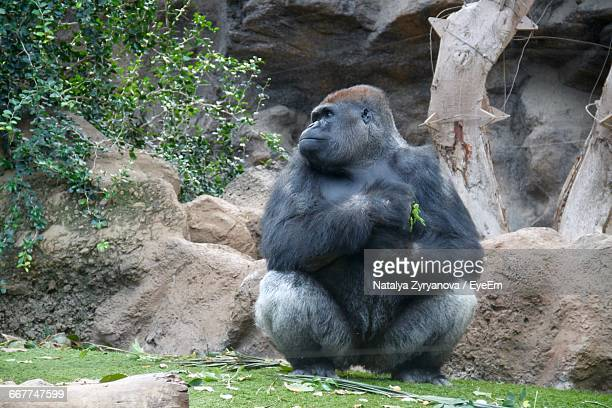 Low Angle View Of Gorilla In Zoo