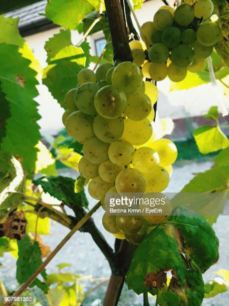 Low Angle View Of Grapes Growing On Tree