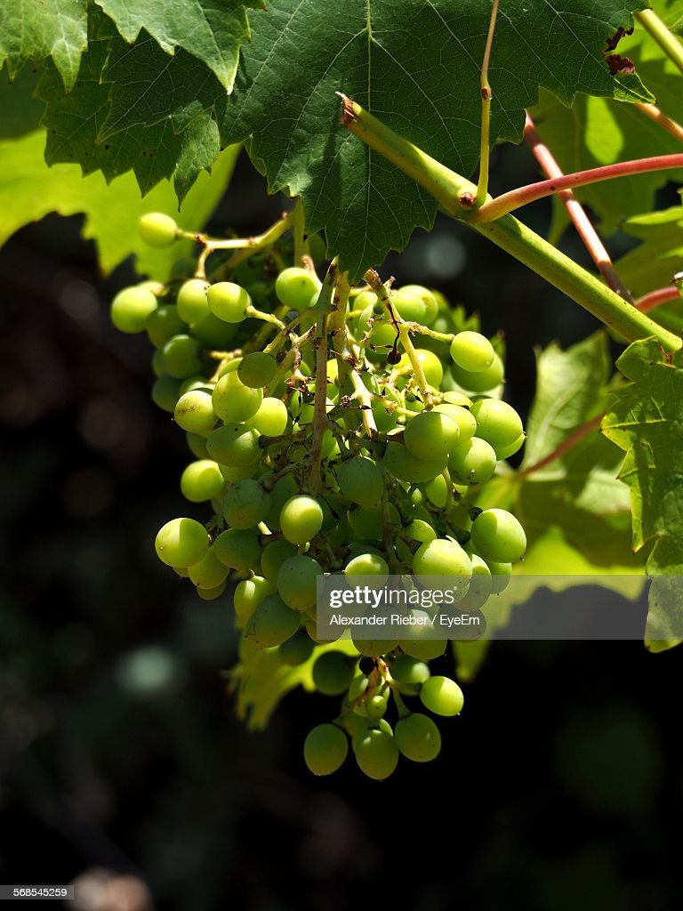 Low Angle View Of Grapes Hanging On Plant Outdoors : Stock Photo