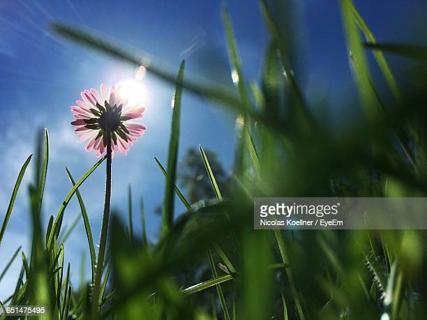 Low Angle View Of Grass And Flower Growing Against Sky